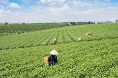 Βιετναμέζικες συλλεκτικές μηχανές τσαγιού peaople στο τσάι λόφων Bao LOC Στοκ Εικόνα