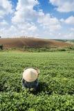 Βιετναμέζικες συλλεκτικές μηχανές τσαγιού peaople στο τσάι λόφων Bao LOC Στοκ Φωτογραφία