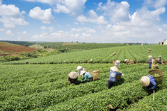 Βιετναμέζικες συλλεκτικές μηχανές τσαγιού peaople στο τσάι λόφων Bao LOC Στοκ Φωτογραφίες