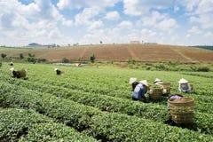 Βιετναμέζικες συλλεκτικές μηχανές τσαγιού peaople στο τσάι λόφων Bao LOC Στοκ φωτογραφία με δικαίωμα ελεύθερης χρήσης
