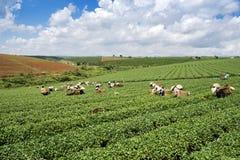 Βιετναμέζικες συλλεκτικές μηχανές τσαγιού peaople στο τσάι λόφων Bao LOC Στοκ Εικόνες