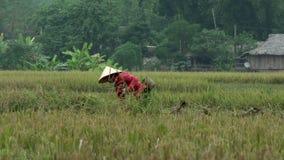 Βιετναμέζικη γυναίκα με το ρόδινο τέμνοντα σανό πουκάμισων στη Mai Châu φιλμ μικρού μήκους