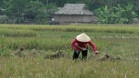 Βιετναμέζικη γυναίκα με το ρόδινο τέμνοντα σανό πουκάμισων στη Mai Châu απόθεμα βίντεο