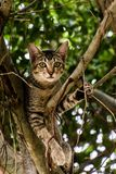 Βιετναμέζικη συνεδρίαση γατακιών σε ένα δέντρο Στοκ Εικόνες