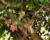 Βιετναμέζικη συνεδρίαση γατακιών σε ένα δέντρο Στοκ Εικόνα