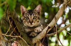 Βιετναμέζικη συνεδρίαση γατακιών σε ένα δέντρο Στοκ Φωτογραφία
