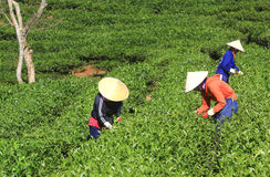 Βιετναμέζικη συλλεκτική μηχανή τσαγιού αγροτών πλήθους στη φυτεία Στοκ Εικόνα