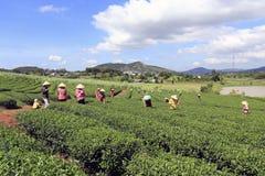 Βιετναμέζικη συλλεκτική μηχανή τσαγιού αγροτών πλήθους στη φυτεία Στοκ φωτογραφία με δικαίωμα ελεύθερης χρήσης
