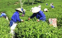 Βιετναμέζικη συλλεκτική μηχανή τσαγιού αγροτών πλήθους στη φυτεία Στοκ Φωτογραφίες