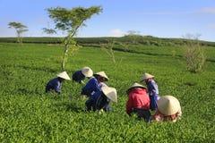 Βιετναμέζικη συλλεκτική μηχανή τσαγιού αγροτών πλήθους στη φυτεία Στοκ Εικόνες