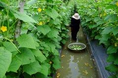 Βιετναμέζικος αγρότης στον κήπο αγγουριών Στοκ εικόνα με δικαίωμα ελεύθερης χρήσης