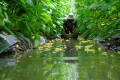 Βιετναμέζικος αγρότης στον κήπο αγγουριών Στοκ φωτογραφία με δικαίωμα ελεύθερης χρήσης