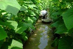 Βιετναμέζικος αγρότης στον κήπο αγγουριών Στοκ Φωτογραφία