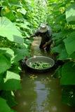 Βιετναμέζικος αγρότης στον κήπο αγγουριών Στοκ εικόνες με δικαίωμα ελεύθερης χρήσης