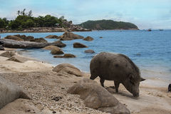 Βιετναμέζικος χοίρος Στοκ Εικόνες