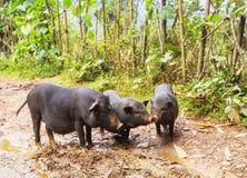 Βιετναμέζικος χοίρος Στοκ εικόνες με δικαίωμα ελεύθερης χρήσης