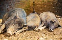 Βιετναμέζικος χοίρος Στοκ εικόνα με δικαίωμα ελεύθερης χρήσης