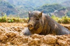 Βιετναμέζικος χοίρος Στοκ φωτογραφία με δικαίωμα ελεύθερης χρήσης