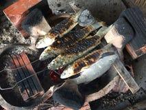 Βιετναμέζικος flathead γκρίζος κέφαλος, Mugil cephalus Στοκ Εικόνες