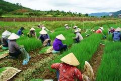 Βιετναμέζικο αγρόκτημα κρεμμυδιών του Βιετνάμ συγκομιδών αγροτών Στοκ Εικόνες