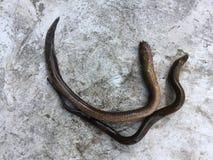 Βιετναμέζικο χέλι ελών, albus Monopterus Στοκ φωτογραφίες με δικαίωμα ελεύθερης χρήσης