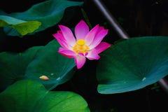 Βιετναμέζικο Lotus, Mekong δέλτα/Βιετνάμ στοκ φωτογραφία