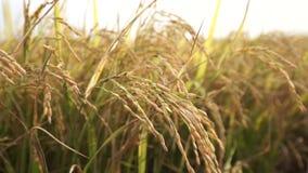 ΒΙΕΤΝΑΜ, ΣΤΙΣ 15 ΑΠΡΙΛΊΟΥ: Το λουλούδι ρυζιού στον τομέα απόθεμα βίντεο