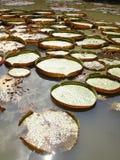 Βικτώρια Amazonica Στοκ Εικόνα