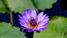 Βιντεοσκοπημένες εικόνες της επικονίασης μελισσών waterlily ή του λουλουδιού λωτού απόθεμα βίντεο