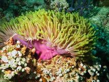 βιολέτα θάλασσας anemone Στοκ φωτογραφία με δικαίωμα ελεύθερης χρήσης