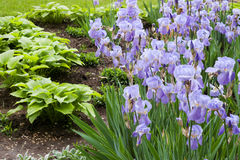 βιολέτα κήπων λουλουδ&iot Στοκ Εικόνες