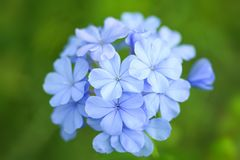βιολέτα λουλουδιών στοκ εικόνα με δικαίωμα ελεύθερης χρήσης