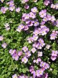 βιολέτα λουλουδιών Στοκ Φωτογραφία