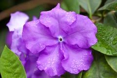 βιολέτα λουλουδιών στοκ εικόνες