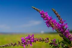 βιολέτα λουλουδιών Στοκ φωτογραφίες με δικαίωμα ελεύθερης χρήσης