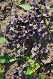Βιολέτα laves του βασιλικού Χαρασμένα φύλλα στοκ εικόνες με δικαίωμα ελεύθερης χρήσης