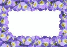 βιολέτα viola πλαισίων Στοκ εικόνες με δικαίωμα ελεύθερης χρήσης