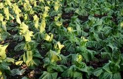 Βιολογική καλλιέργεια της πράσινης σαλάτας Στοκ Φωτογραφία