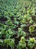 Βιολογική καλλιέργεια της πράσινης σαλάτας Στοκ Εικόνες