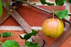 Βιολογικό μήλο Στοκ εικόνες με δικαίωμα ελεύθερης χρήσης
