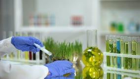 Βιολόγος που εγχέει το λίπασμα στη δοκιμή wheatgrass, ανάπτυξη φυτοφαρμάκων απόθεμα βίντεο
