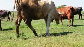Βιομηχανία γεωργίας Βοσκή γαλακτοκομικών βοοειδών Αγελάδα γάλακτος που τρώει τη χλόη Βοσκή αγροτικών βοοειδών στο λιβάδι αγροτικό φιλμ μικρού μήκους
