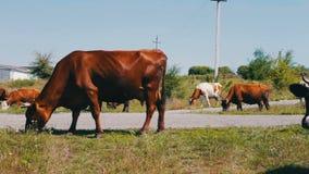 Βιομηχανία γεωργίας Βοσκή γαλακτοκομικών βοοειδών Αγελάδα γάλακτος που τρώει τη χλόη Βοσκή αγροτικών βοοειδών στο λιβάδι αγροτικό απόθεμα βίντεο