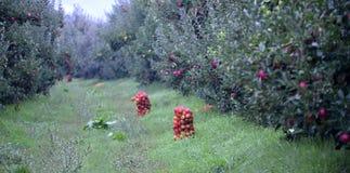 Βιομηχανικά φρούτα της Apple στον οπωρώνα Στοκ φωτογραφία με δικαίωμα ελεύθερης χρήσης