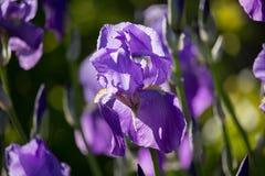 βιολέτα ήλιων ίριδων κήπων λουλουδιών Στοκ Εικόνα