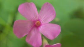 Βιολέτα λίγο λουλούδι, μακρο κινηματογράφηση σε πρώτο πλάνο Στοκ εικόνα με δικαίωμα ελεύθερης χρήσης