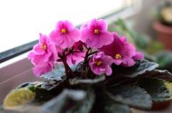 Βιολέτα με τα ρόδινα λουλούδια και τα σημεία στα φύλλα Στοκ Φωτογραφία