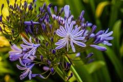 Βιολέτα λουλουδιών λιμνών Στοκ Εικόνες