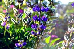 βιολέτα λουλουδιών Στοκ Φωτογραφίες