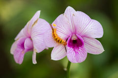 Βιολέτα & Caterpillar Στοκ Εικόνες